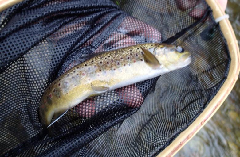 premiere truite de l année prise en nymphe dans la rivière de la Rhue dans le puy de Dôme